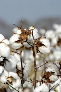 cottonplant2